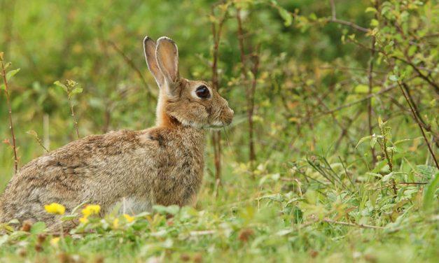 Merino señala que Page es el responsable de no declarar la plaga de conejos y le pide que indemnice a los agricultores por los daños