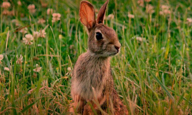 El PP reclamará antes las Cortes de Castilla-La Mancha la declaración de plaga de conejos cuyos daños ascienden a los 600 millones de euros