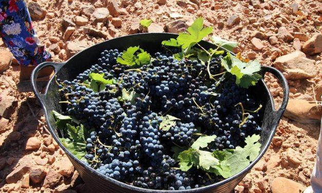 El Tempranillo supone el 50 por ciento del vino elaborado con Denominación de Origen La Mancha