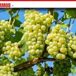 ASAJA Socuéllamos pide medidas concretas y efectivas contra posibles imposiciones de precios de uva de forma unilateral por parte de la industria