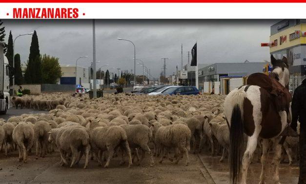 Más de 2.000 ovejas cruzan Manzanares