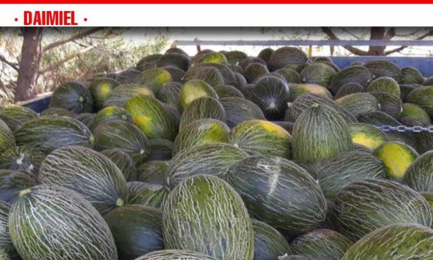 La campaña de la cebolla y el melón, pendiente de los vaivenes de los precios