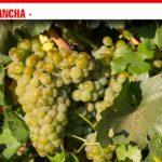 Las primeras variedades recogidas en la vendimia de la DO La Mancha