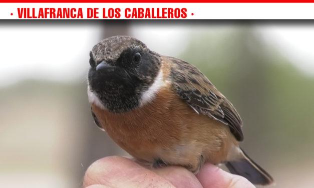 Villafranca de los Caballeros celebra el 'Día mundial de las aves' con un taller divulgativo de Anillamiento Científico de Aves en la Laguna Chica