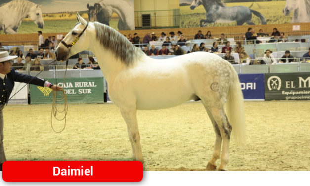 El caballo daimieleño 'Navaltocón', entre los mejores del mundo de pura raza española
