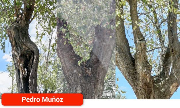 Árboles más sanos y más seguros en el bulevar de las calles Salvador Dalí y Dos de Mayo