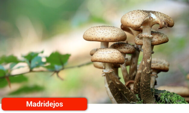 El Ayuntamiento regula el aprovechamiento de setas en las Sierras de Madridejos
