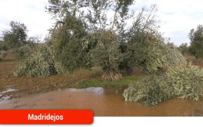 El sector olivarero perderá cerca del 30% de su producción de aceituna por los temporales