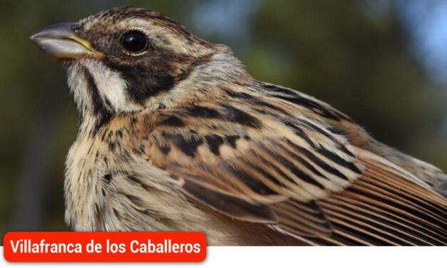 Vuelve el 'Escribano palustre' a las Lagunas, una prueba más de la necesidad de conservar este ecosistema